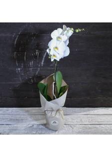 Орхидея (одна стрелка)
